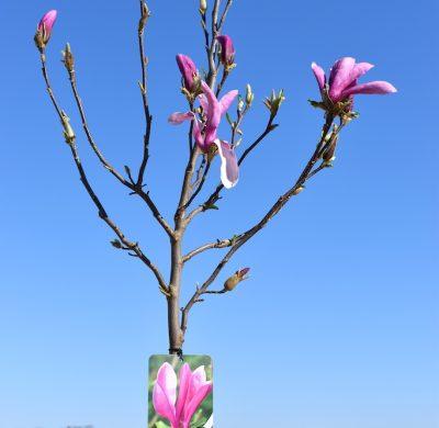 Magnolia 'Susan'2